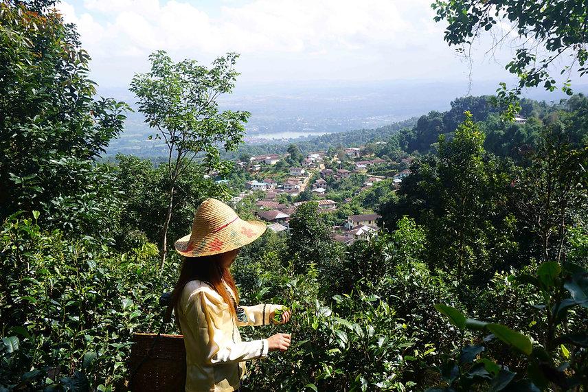 Lady Picking Tea.jpg