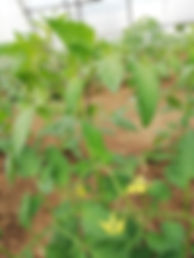 Tomates S.jpg