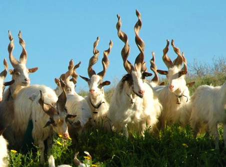 Tout savoir sur la chèvre Girgentane