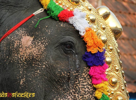 Caparisoned Elephants:  Sad Faces of Temple Festivals in Kerala