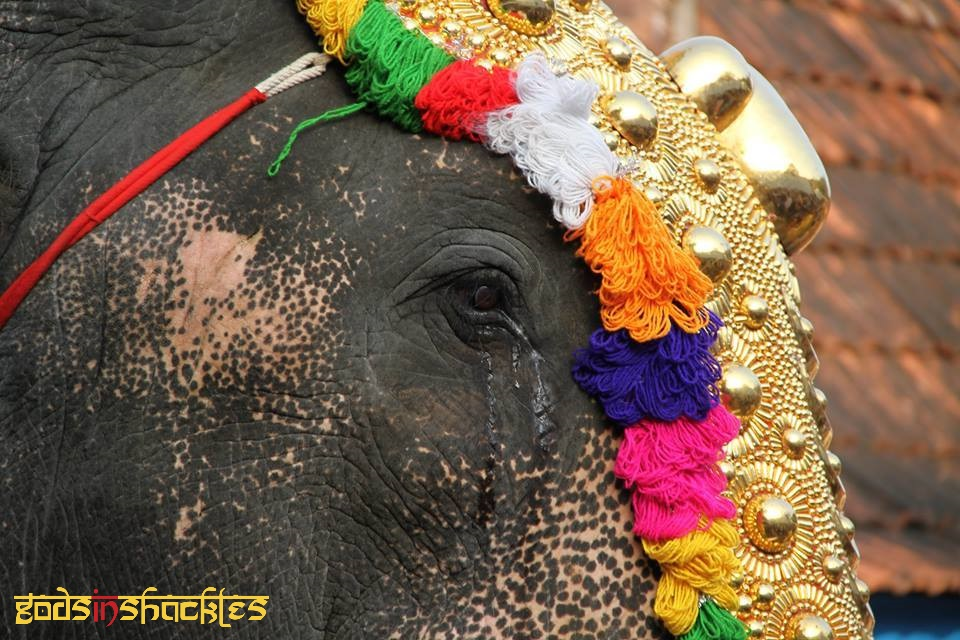 Caparisoned Elephants Sad Faces Of Temple Festivals In Kerala Search more hd transparent kerala elephant image on kindpng. sad faces of temple festivals in kerala
