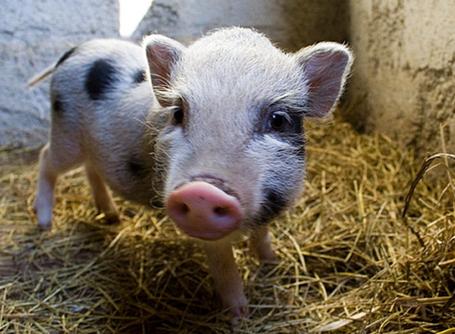 Optimiser la nutrition en céréales des animaux