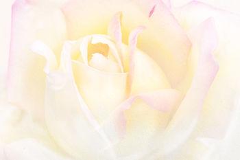 4871115 pink rose.jpg