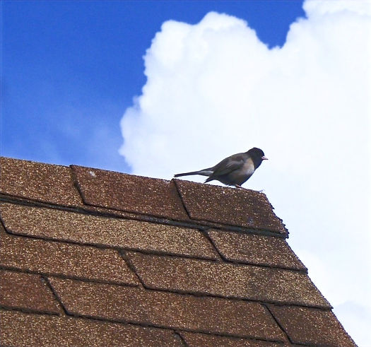 Song_bird_perched_on_asphalt_shingle_roo