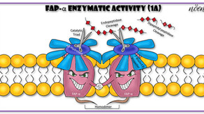 FAP-α: One Target for 28 Cancer Types