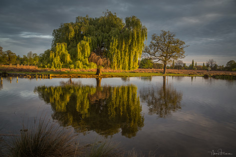 Willow on Heron Pond