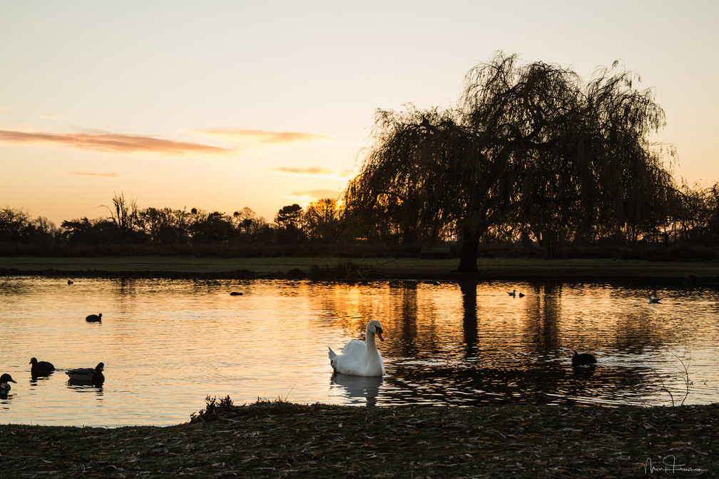 Swan on Heron Pond