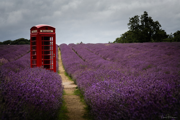 Callbox in a field of Lavender