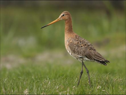 The Dutch National Black-tailed Godwit breeding in Fryslân