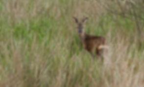 Deer001.jpg