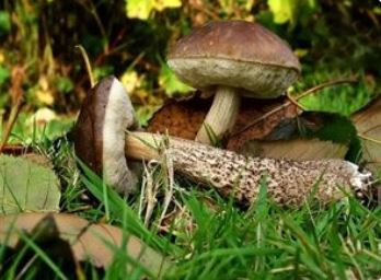edible mushrooms  - A Classic Review