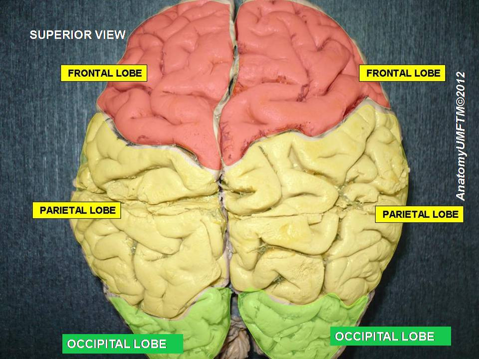 brain, sections identified - A Classic Review