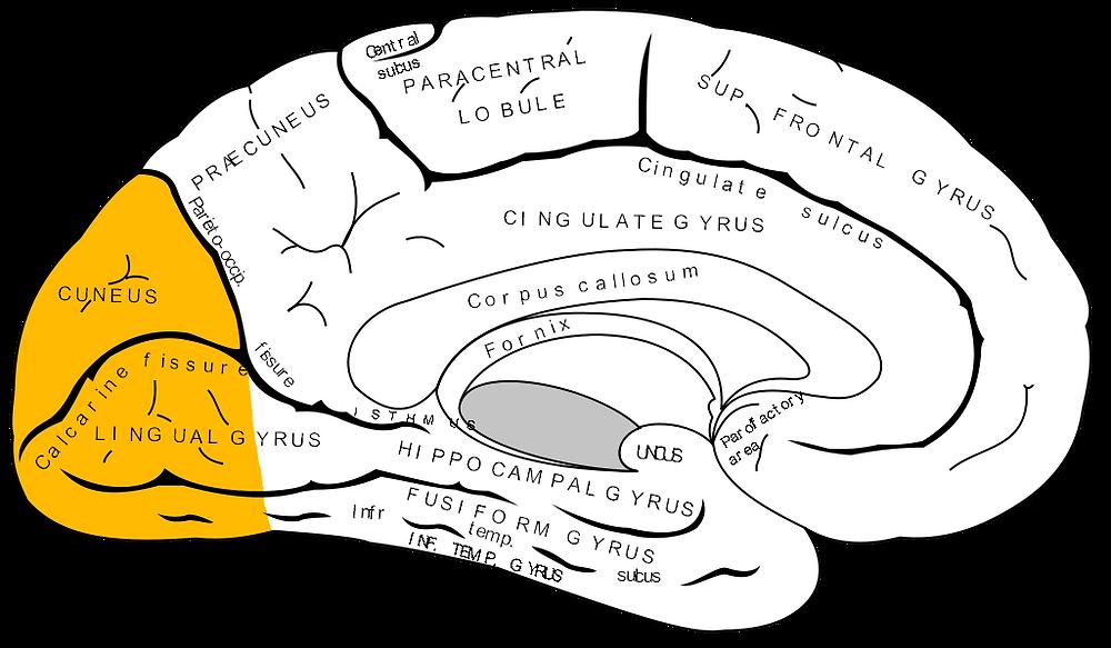 brain, occipital lobe - A Classic Review