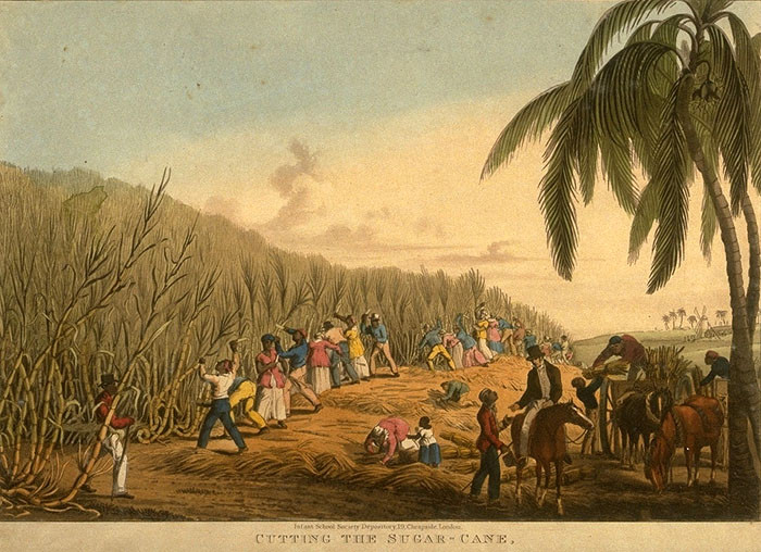 artist's depiction of sugar cane harvest - A Classic Review