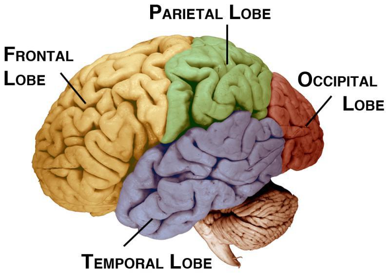 brain, diagram, temoral lobe - A Classic Review
