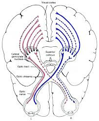 brain, optic nerves to visual cortex - A Classic Review