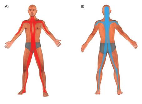 Le principe des chaînes musculaires