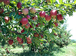 What Type of Apple Is Best