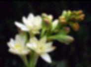 tuberose.jpg