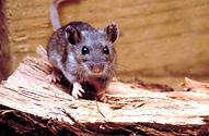 rodent-deer-mouse-peromyscus-maniculatus