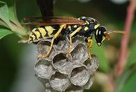 Wasp_March_2008-3.jpg