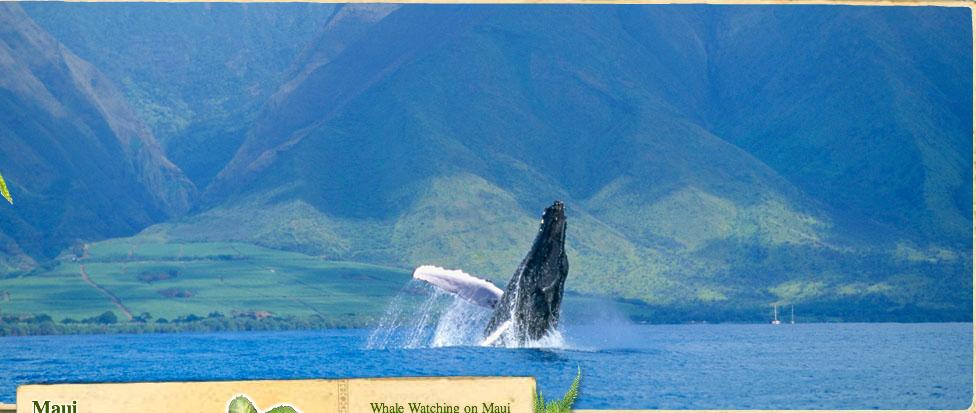 Kapalua Whale