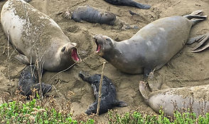 elephant seal mothers with babies.JPG