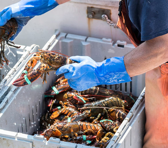A fisherman seperates live lobsters by s