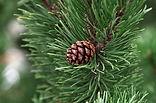 pine-2988599_640.jpg