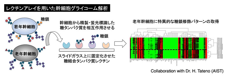 Glycosylation.jpg