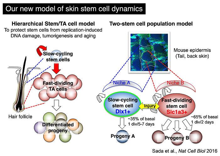 stem_cell_model.jpg