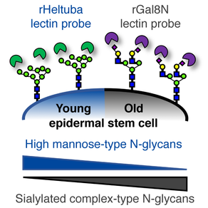 Glycan profiling of epidermal stem cells during aging