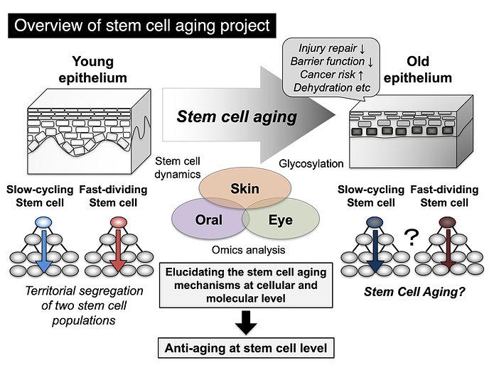 stem_cell_aging.jpg