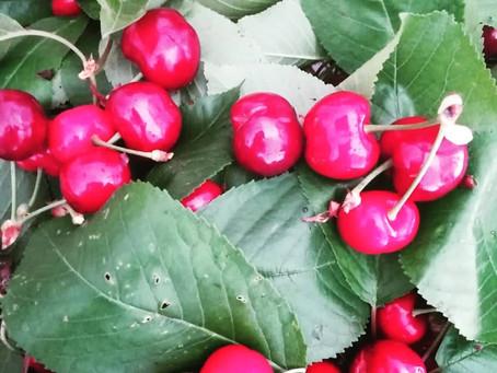 La leggenda giapponese dei ciliegi