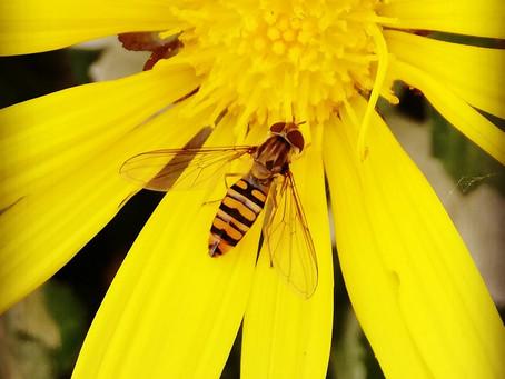 Una mosca travestita da ape
