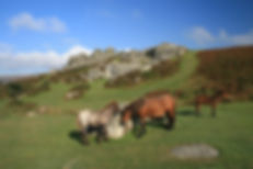 Dartmoor ponies near Bonehill Down.jpg