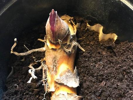 Gardeners, start you bulbs ... in March!