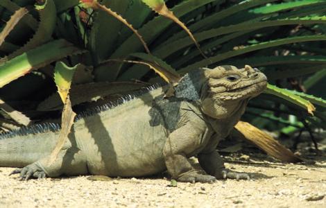 iguana-02