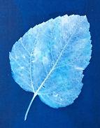White Mulberry.jpg