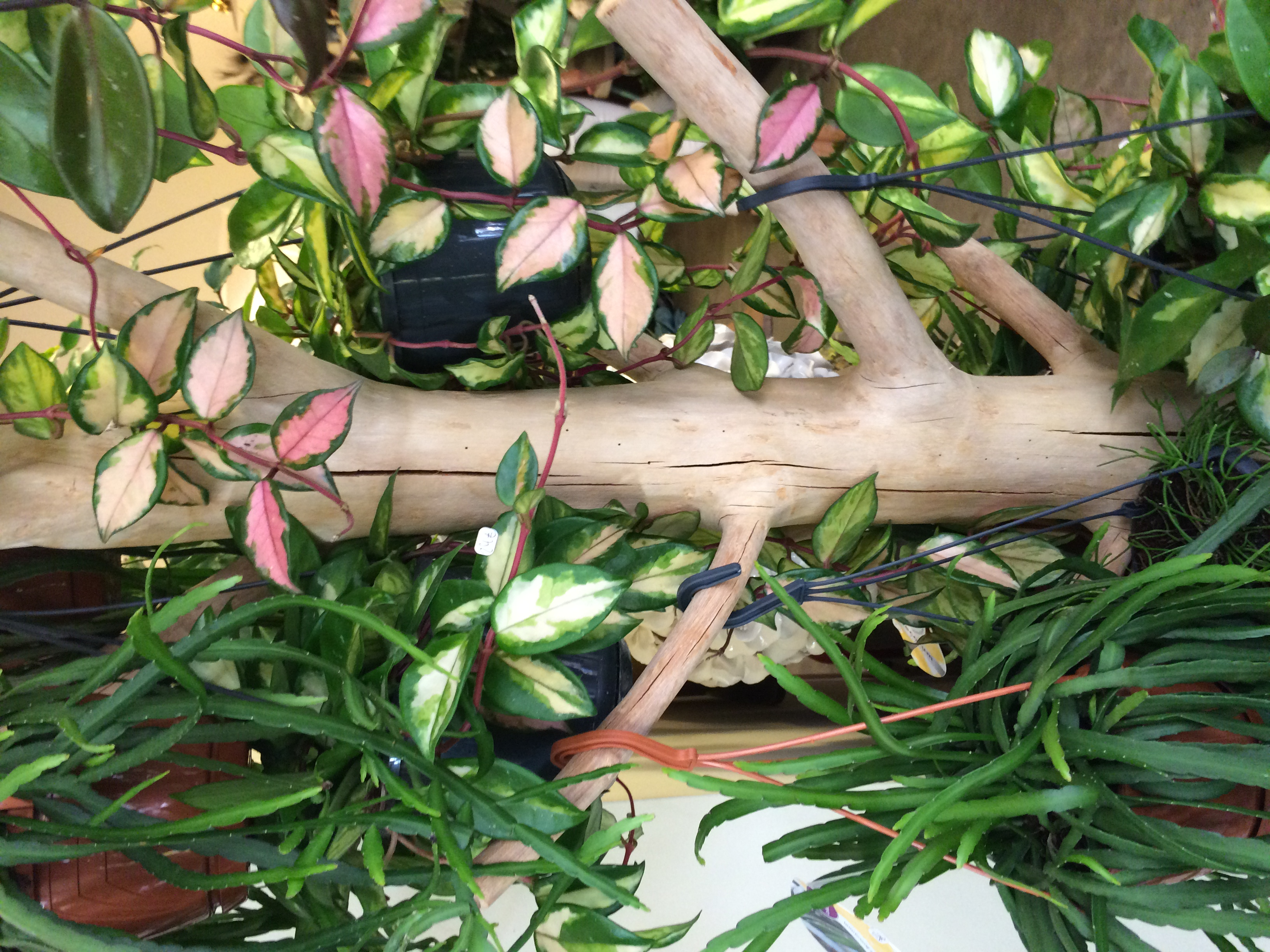 Hoyas Marlies Fleurs fleuriste Nimes