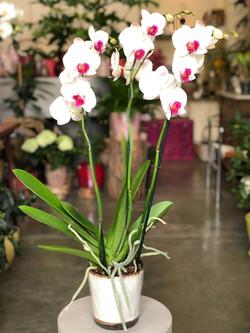 orchidée-blanche-et-rouge-3-hampes-pot-b