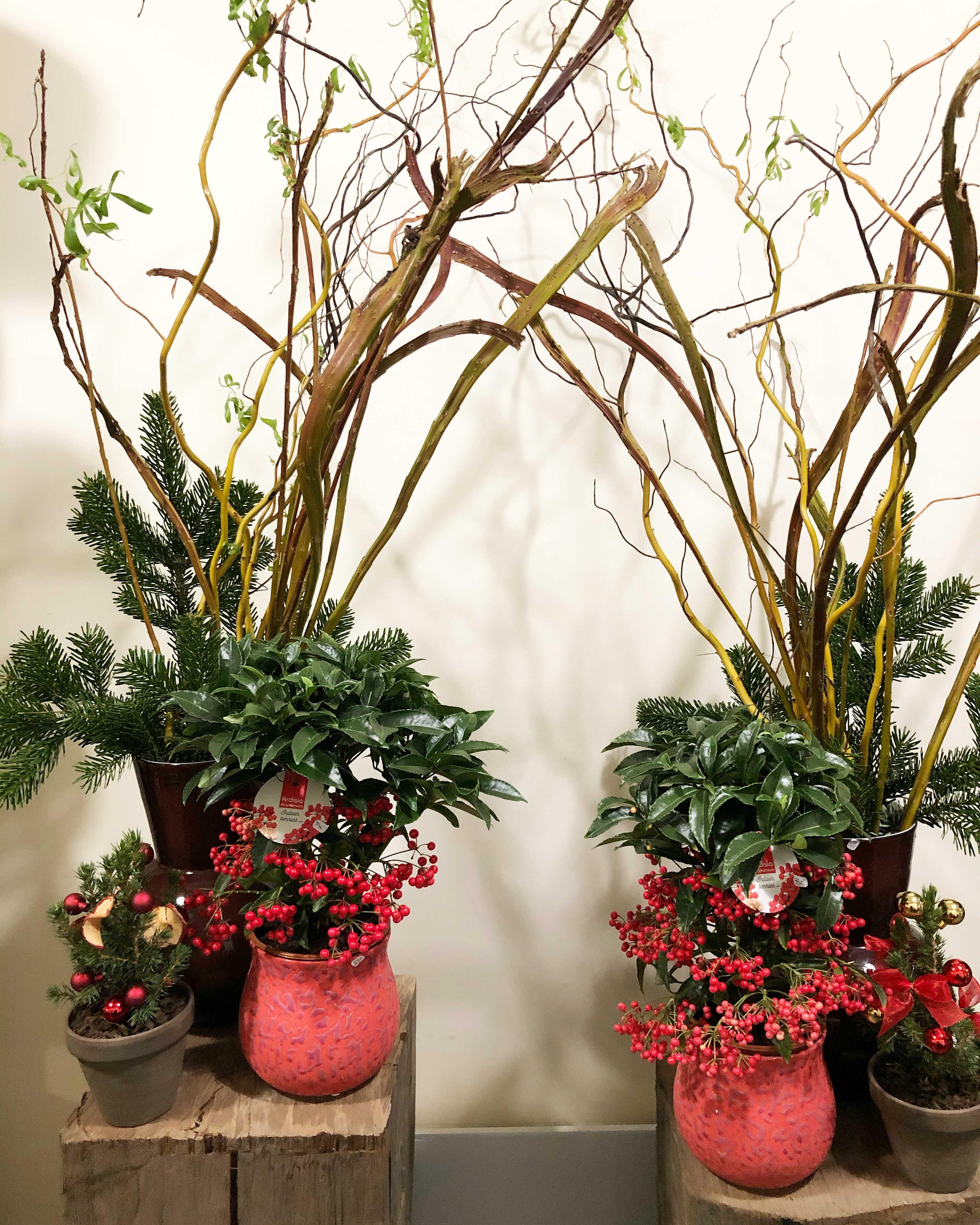plante ardisia Marlies Fleurs fleuriste Nimes