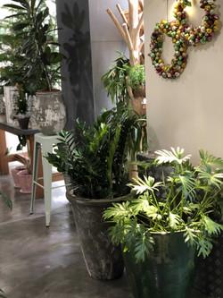 plante philodindron Marlies Fleurs fleuriste Nimes