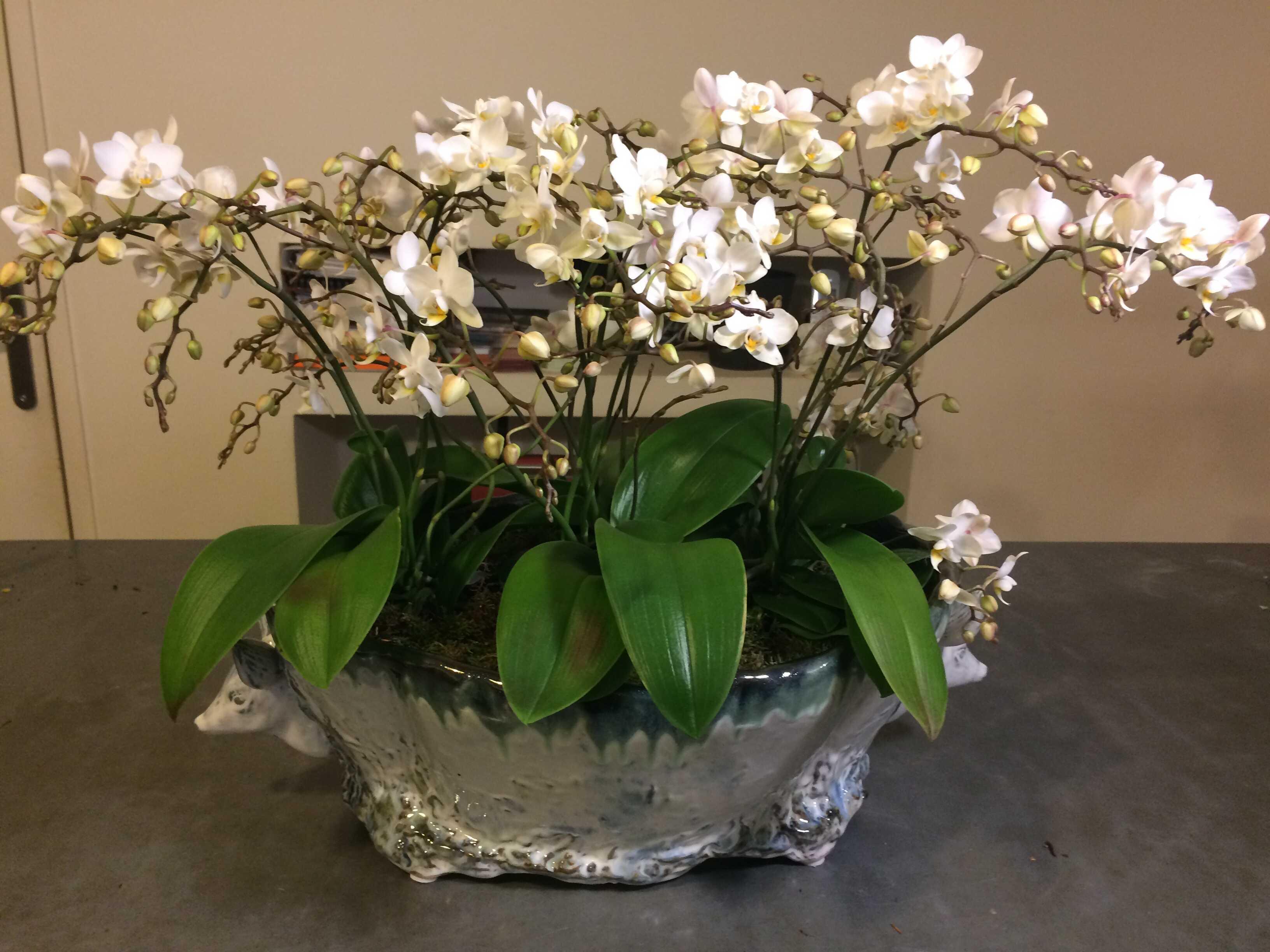 Plante orchidée phalaenopsis Marlies Fleurs fleuriste Nimes