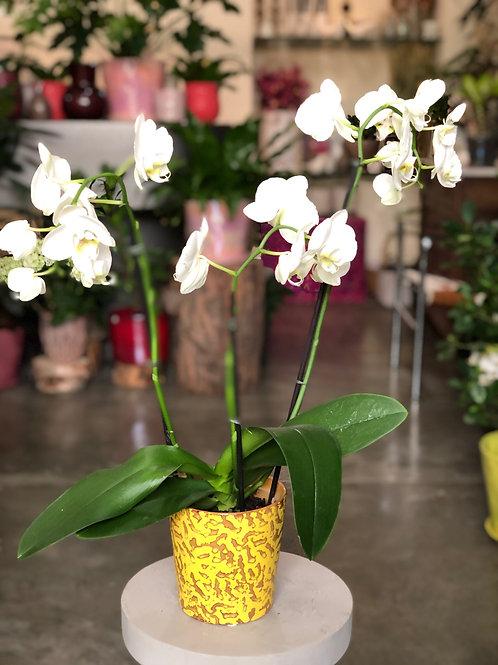 Orchidée blanche 3 hampes