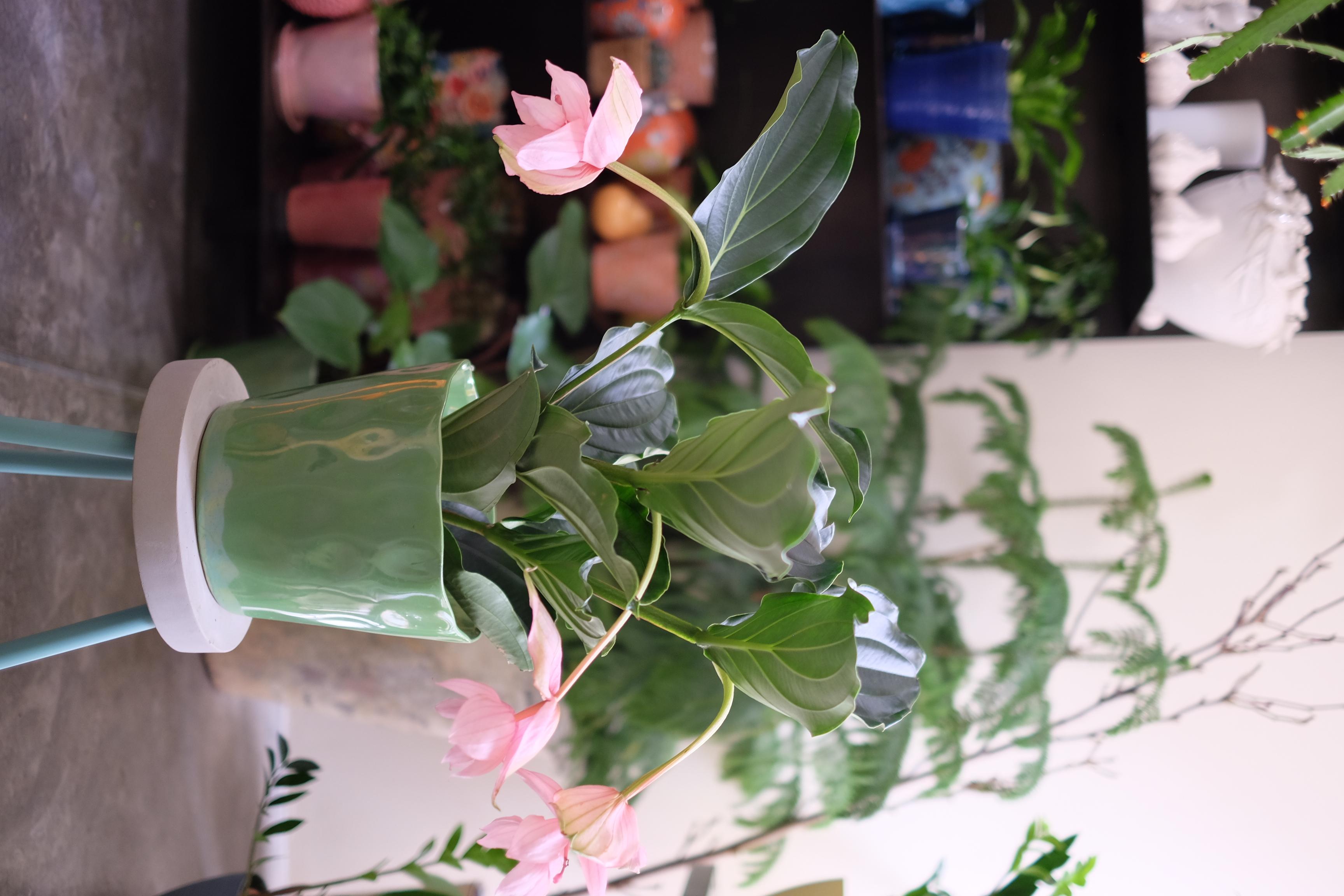 Medenilla Magnifica Marlies Fleurs fleuriste Nimes