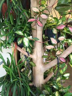 plante hoyas Marlies Fleurs fleuriste Nimes