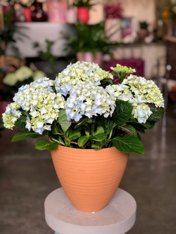 Hortensia en pot Marlies Fleurs fleuriste Nimes