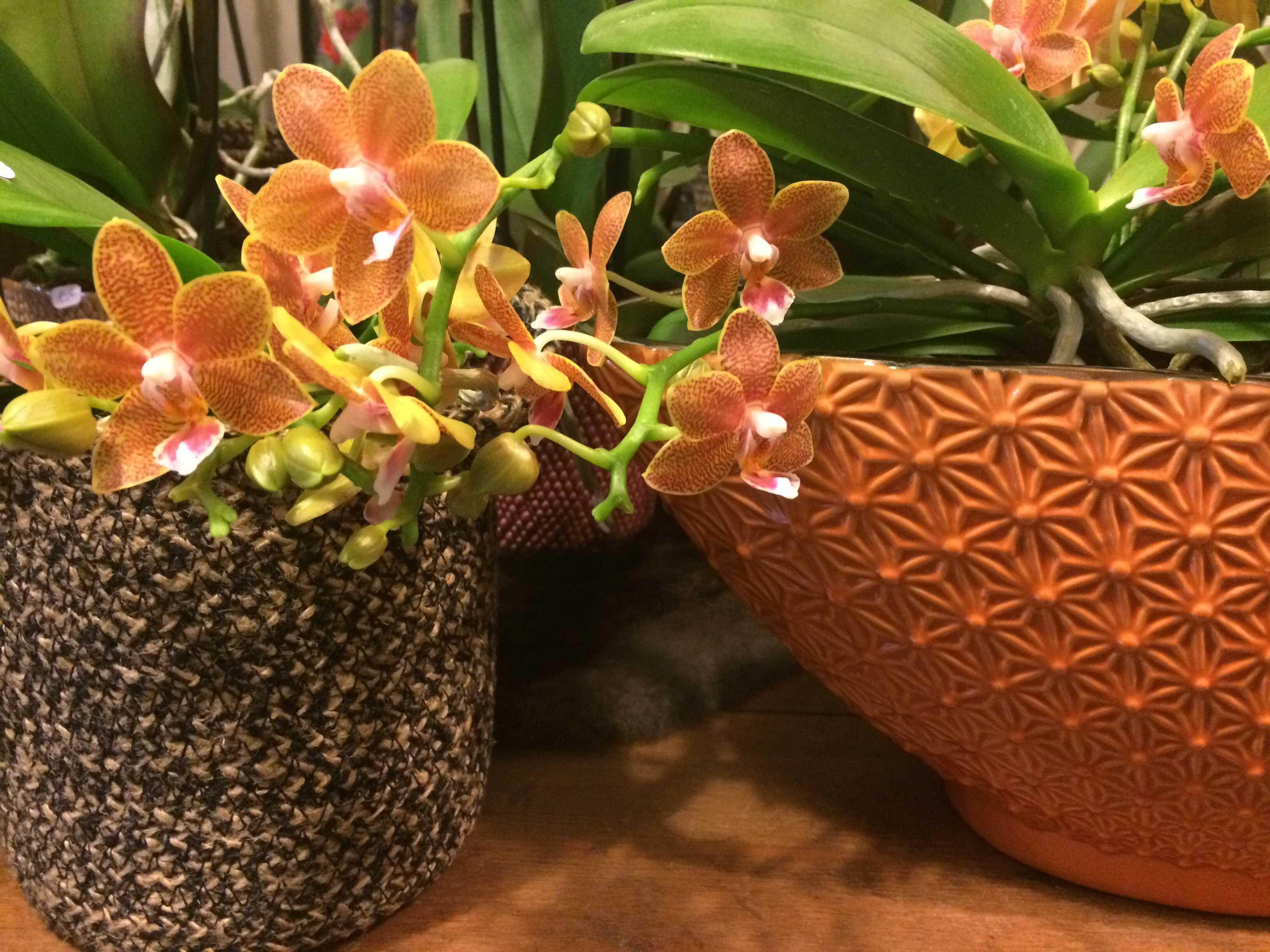 plante phalaenopsis Marlies Fleurs fleuriste Nimes