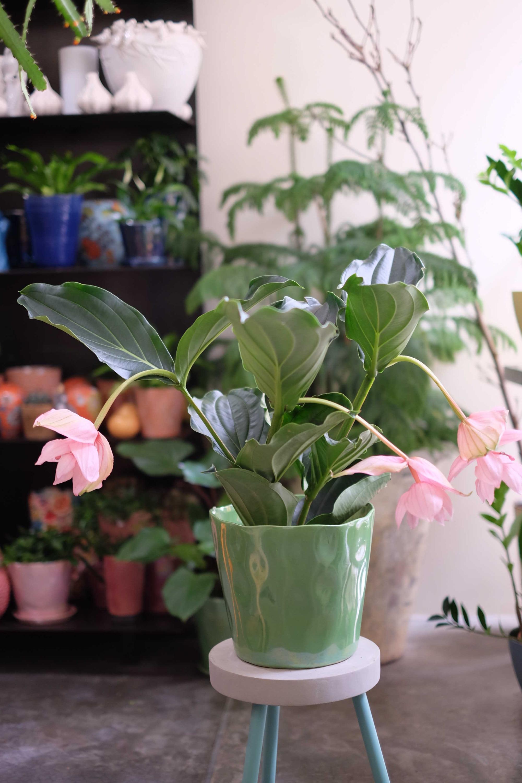 plante medenilla magnifica Marlies Fleurs fleuriste Nimes